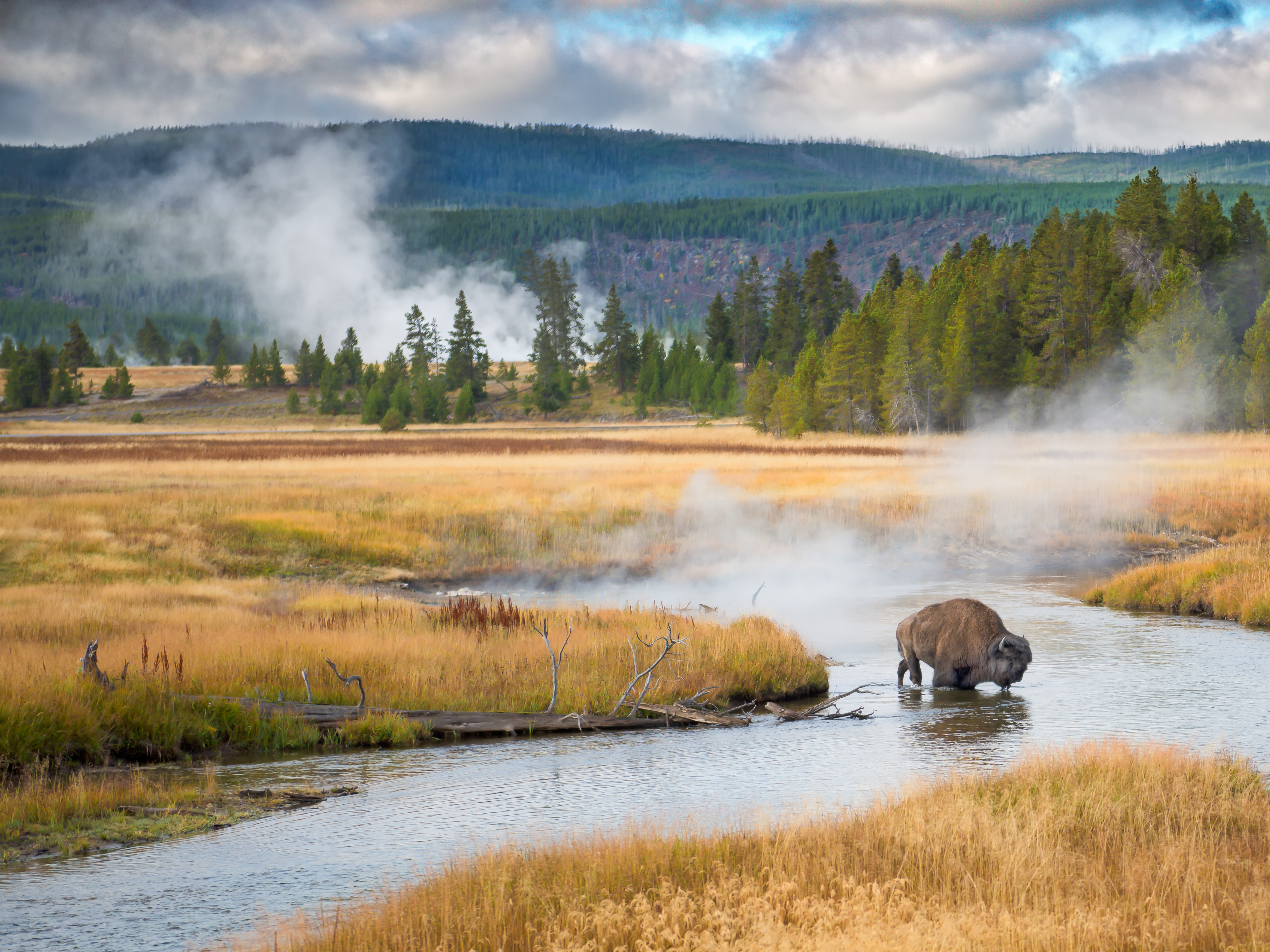 Bison and steam vents in Yellowstone.