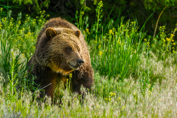 Brown bear in Yellowstone.