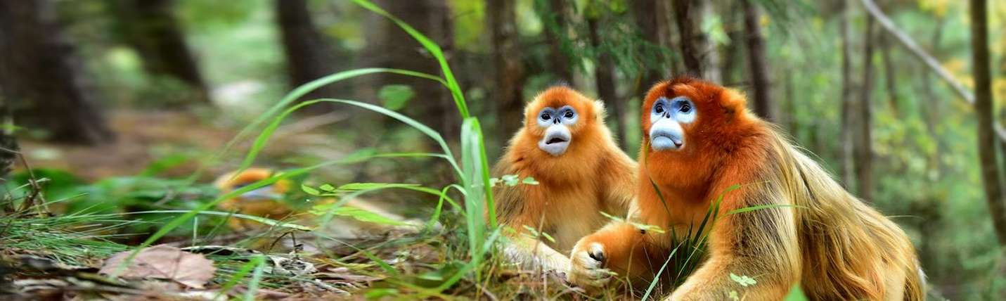 Golden Snub-Nosed Monkey | China Wildlife Guide