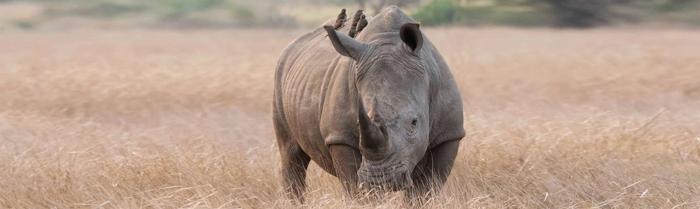 Rhino Facts | Southern Africa Wildlife Guide