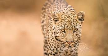 Cheetah Facts | Southern Africa Wildlife Guide