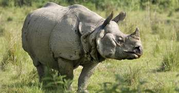 Indian Rhinoceros Facts | India Wildlife Guide
